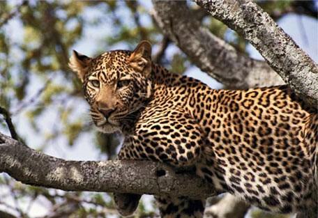 l02-leopard.jpg