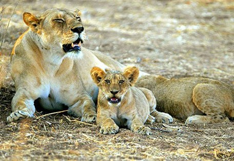 lion_cub.jpg