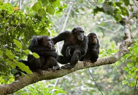 456_rubondo_chimps.jpg
