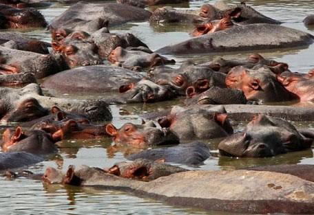 08-hippos.jpg