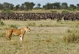 1_lioness_wildebeest.jpg