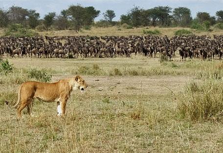 lioness_wildebeest.jpg