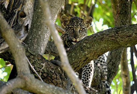 456g_lemala-mara-camp_leopard.jpg