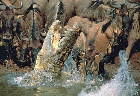 456i_lemala-mara-camp_crocodile-wildebeest.jpg