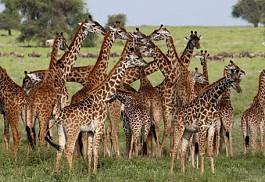 456_mbalageti_giraffe.jpg