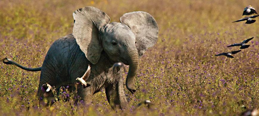 870_mbalageti_elephant.jpg