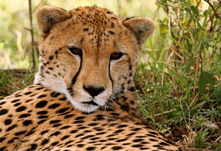 456e_kensington-serengeti-camp_cheetah.jpg