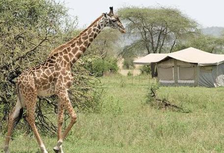 456f_kensington-serengeti-camp_giraffe.jpg