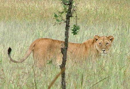 456g_kensington-serengeti-camp_lion.jpg