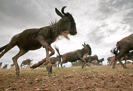 456i_kensington-serengeti-camp_wildebeest.jpg