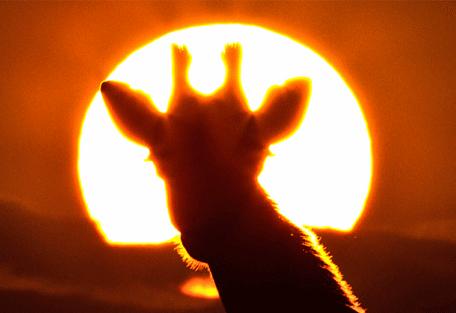 456i_nomad-lamai-camp_giraffe-sunset.jpg
