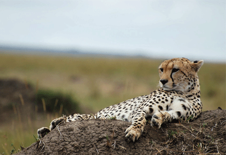 456e_serengeti-mara-camp_cheetah.jpg