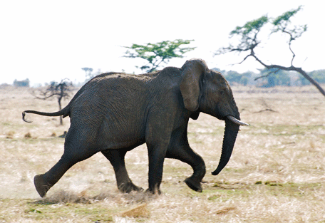 456f_serengeti-mara-camp_elephant.jpg