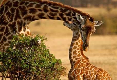 456g_serengeti-mara-camp_giraffe.jpg