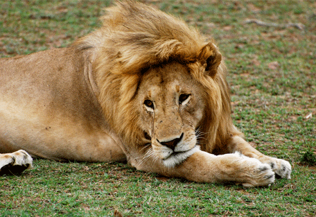 456h_serengeti-mara-camp_lion.jpg