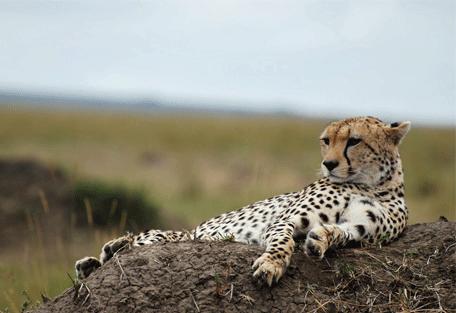 456e_serengeti-mara-camp_cheetah.jpg