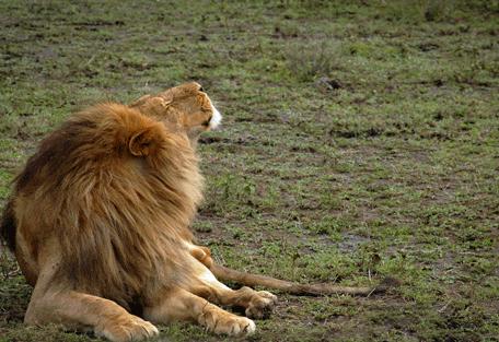 456f_serengeti-safari-camp_lion.jpg
