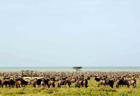 456g_serengeti-safari-camp_wildebeest.jpg