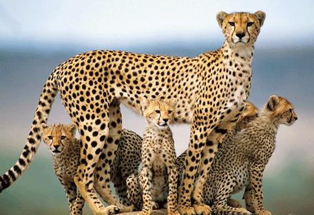 456h_serengeti-safari-camp_cheetah.jpg