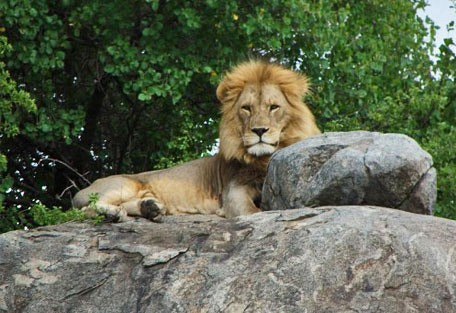 456i_simbalodge_lion.jpg