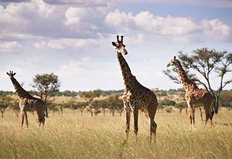 456i_singitaserengeti_giraff.jpg