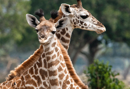 456i_soroi-serengeti-lodge-giraffe.jpg