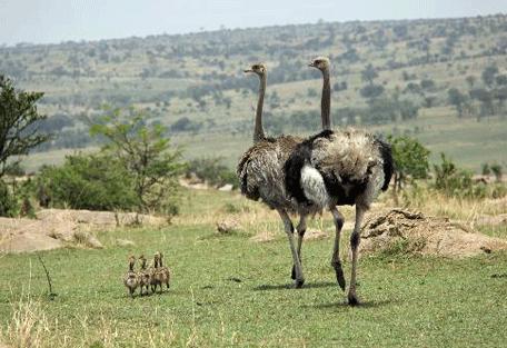 456g_ubuntu-camp_ostrich.jpg