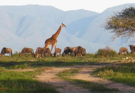 456h_ubuntu-camp_giraffe-wildebeest.jpg