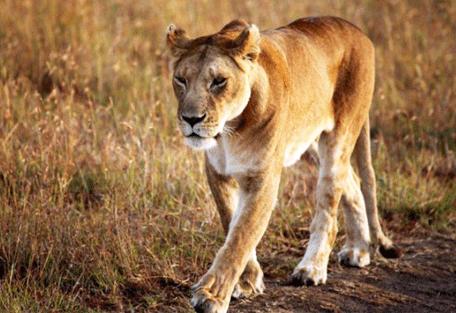 456i_ubuntu-camp_lioness.jpg