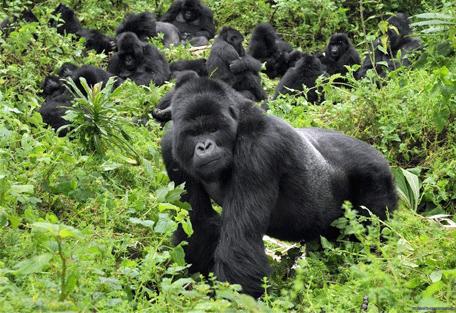 456i_uganda-safaris_gorilla.jpg