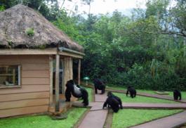 456a_gorilla-forest-camp_ex.jpg
