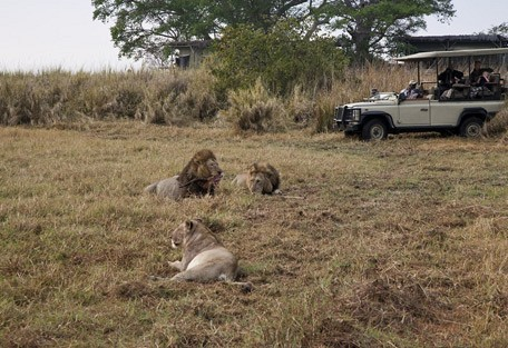 zambia-lion-kill-drive.jpg
