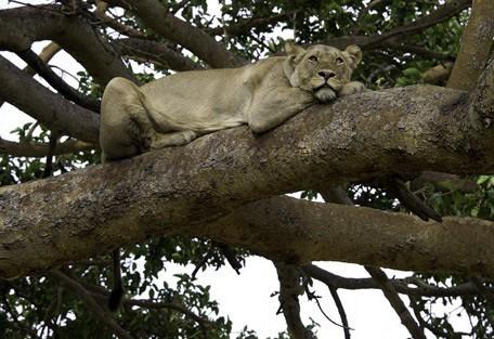 lioness2-tree-wilderness.jpg