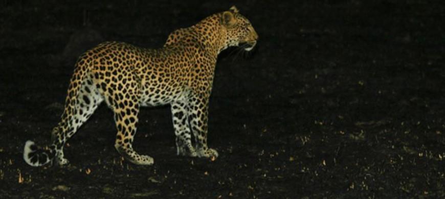 leopard-lufupa-river.jpg