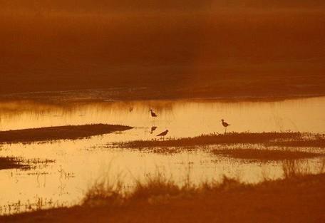 plovers-at-sunset.jpg