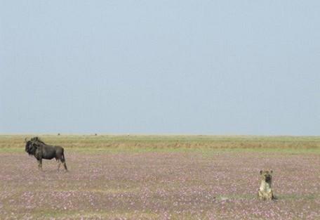 wildebeest-and-hyena-sittin.jpg