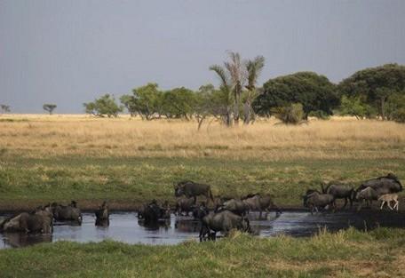 wildebeest-at-a-watering-ho.jpg