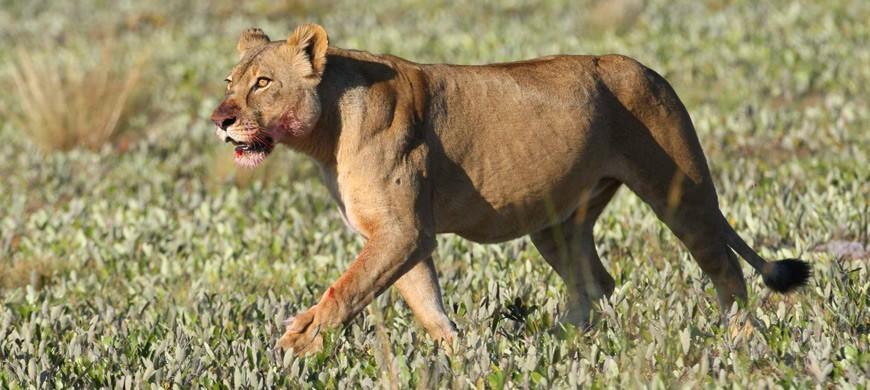 liuwa-lion.jpg