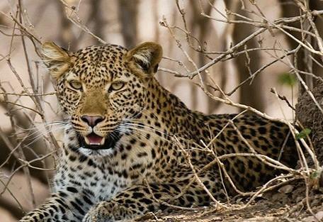 leopard2-remote-africa.jpg