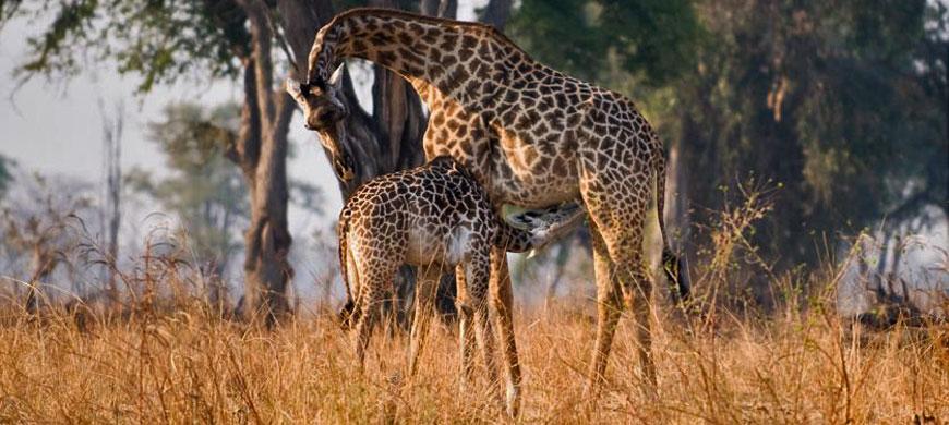 giraffe-remote-africa.jpg