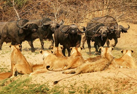 lions_buff.jpg