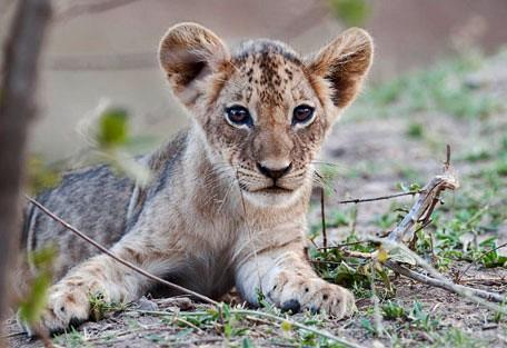 lion-cubs-rps2.jpg