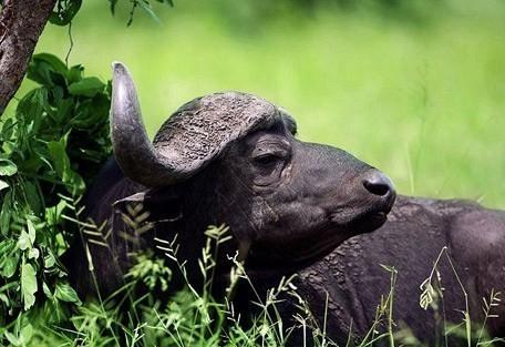 zimbabwe-buffalo-general.jpg