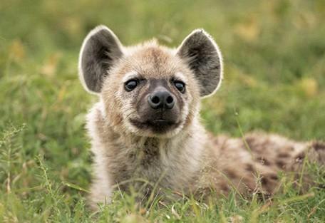 zimbabwe-hyena.jpg