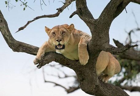 zimbabwe-lioness-tree-gener.jpg