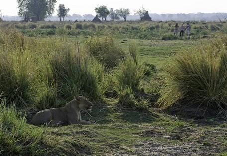 zimbabwe-lioness-walk.jpg