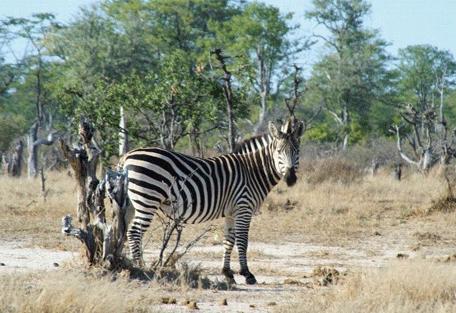 456f_gonarezhou-national-park_zebras.jpg