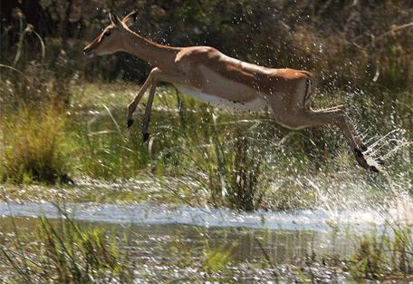 456i_gonarezhou-national-park_impala.jpg