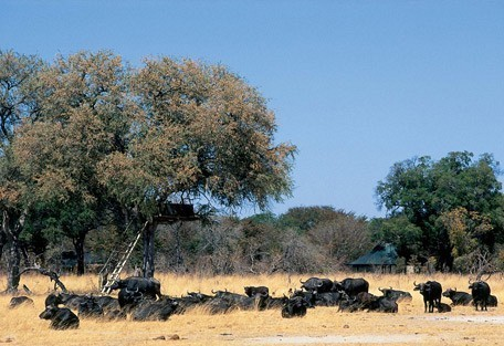 buffalo-little-makalolo.jpg