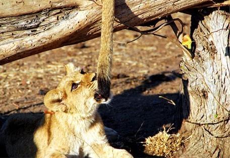 456f_drifters_lion.jpg